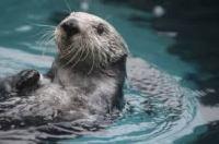 Aquarium_otter